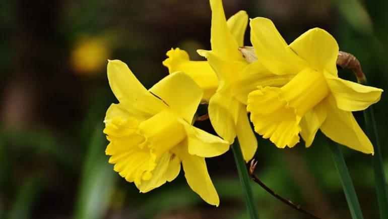 Narciso un fiore una leggenda